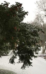 Snow on evergreen tree